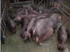 老地方牧业 常年出售原种母猪 公猪