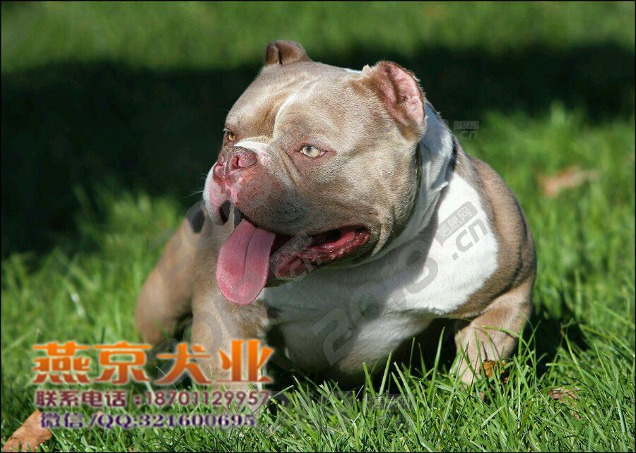 出售纯种美国恶霸犬 带血统证书 保证健康纯种 实物