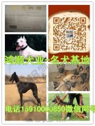 2018小马犬价格纯种马犬图片鸿顺犬舍