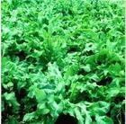 济南高效牧草种子 高杆牧草种苗