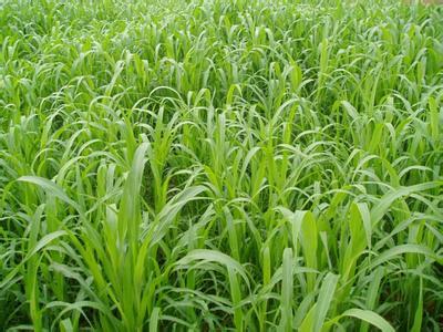 进口牧草种子 墨西哥玉米草种子