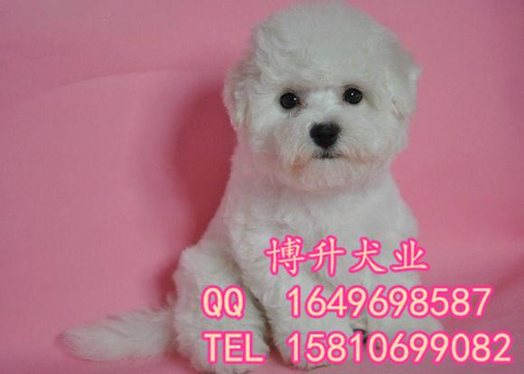纯种比熊犬价格 北京哪卖比熊幼犬 法系卷毛比熊 签保障协议