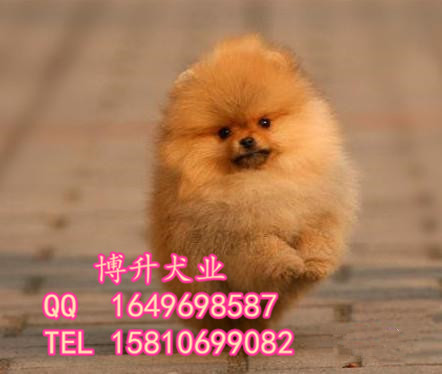 纯种博美犬 哈多利球体博美 高品质博美犬 健康保障 签署协议