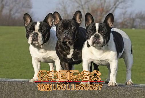 出售纯种法牛 纯种法牛幼犬多少钱 亿丰犬舍直销
