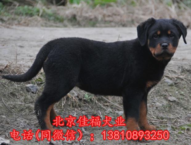 纯种罗威纳犬价格 北京哪卖罗威纳幼犬 直销高品质罗威纳犬