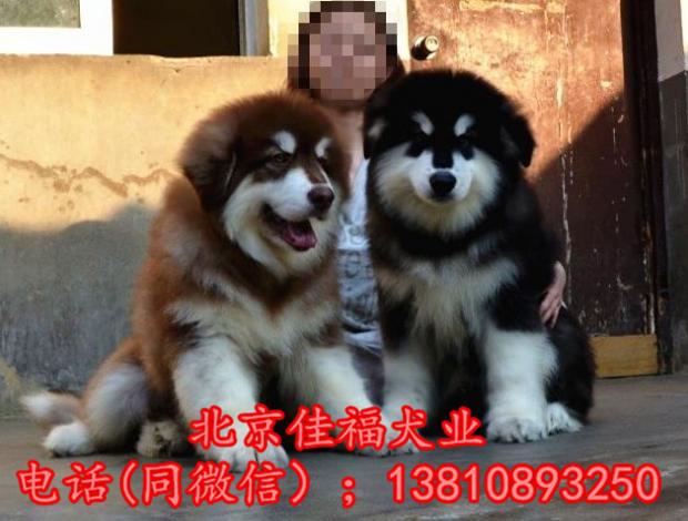 纯种阿拉斯加犬价格 巨型阿拉斯加 大骨架阿拉斯加犬 保健康