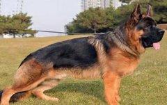 出售纯种德牧 赛级德牧幼犬多少钱 亿丰犬舍