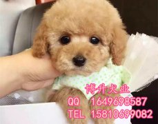北京哪卖纯种泰迪幼犬 玩具体泰迪 专业繁殖泰迪犬 签保障协议