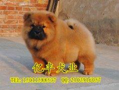出售纯种松狮 松狮幼犬多少钱 亿丰犬舍直销