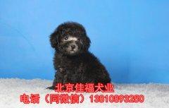 北京哪里卖泰迪幼犬 玩具体泰迪 红色泰迪 签保障协议 可送货